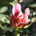 Rose-10