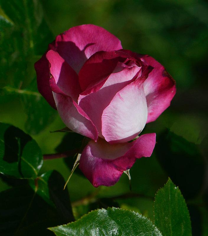 Rose Rouge et blanche 1 12-05-21