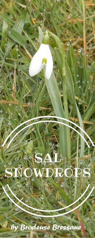 SAL SNOWDROPS by BB