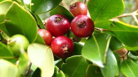 les fruits du Goyaviers
