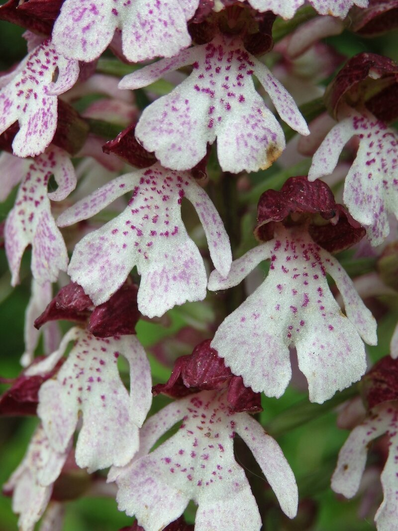 orchis pourpre (7)