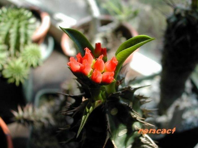 Euphorbia viguieri