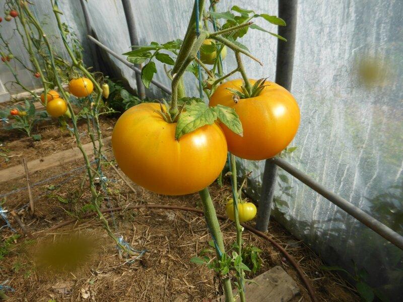22-serre-tomates (17)