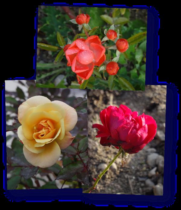 dernieres roses