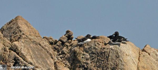 246-Pingouins-torda