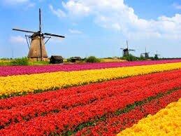 Tulipes en Hollande