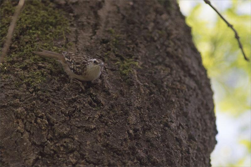 Oiseau grimpereau attrape insecte 2 210421