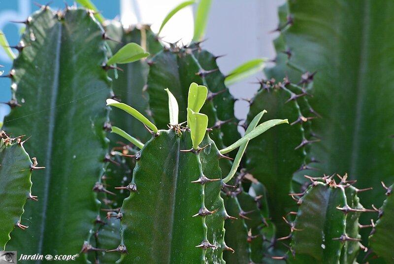 Feuilles de Euphorbia erythrea