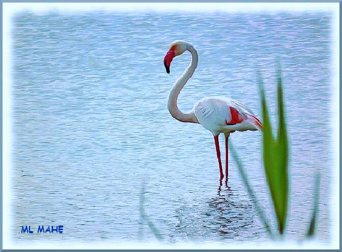 FLAMANT ROSE ML MAHE
