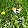 Aurore • Anthocharis cardamine • Famille des Pieridae