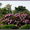 Rhododendron 1005152