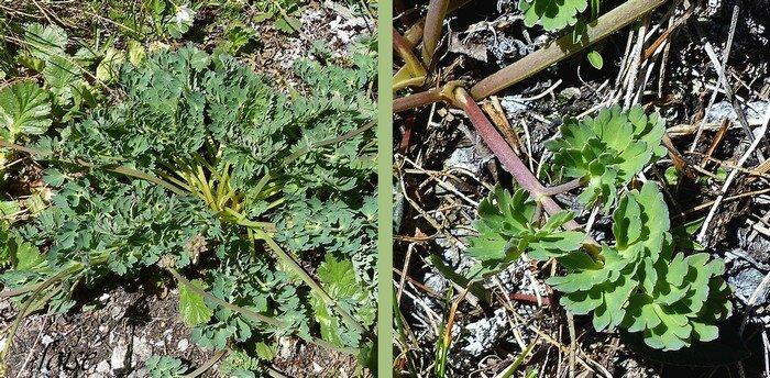 feuilles basales longuement pétiolées vert glauque