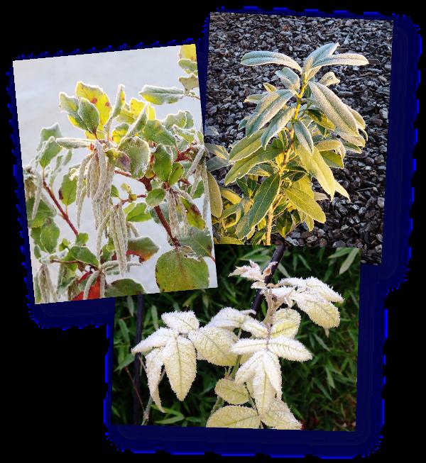 feuilles gelees