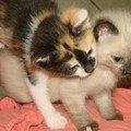 2008 04 22 Deux chatons de Papillon à 1 mois et 9 jours