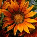 fleurs juillet 2010 036