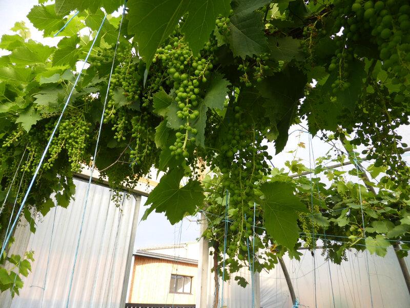 13-raisins, vignes (4)