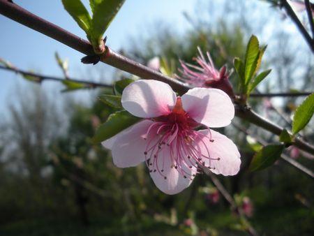 Fleur_de_p_cher