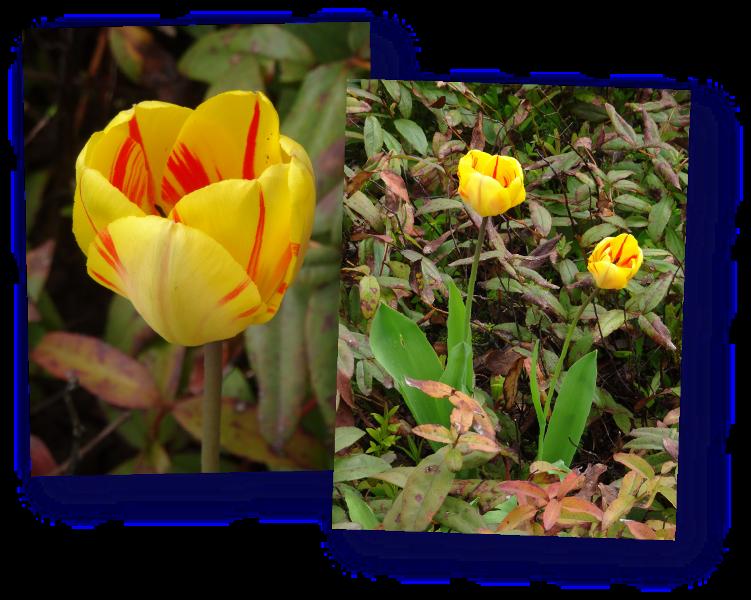 deux tulipes dans le millepertuis