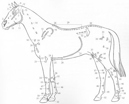 anatomie_cheval_001
