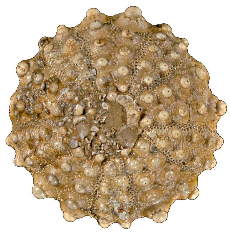 Acrocidaris nobilis 13151s