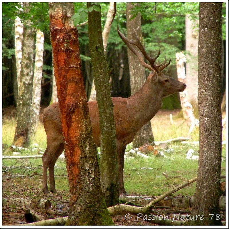 Le brame du Cerf 2009 en forêt de Rambouillet (22)