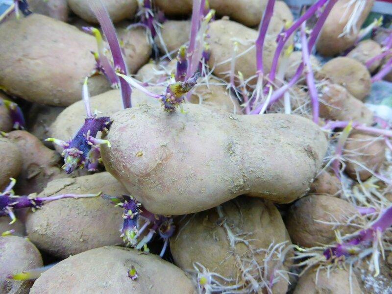 6-pommes de terre (9)