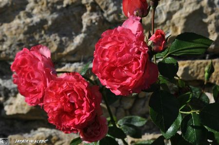 Rose-des-Blés