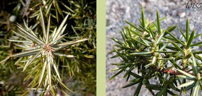 feuilles en alêne verticillées