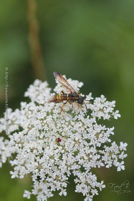 Tenthredo vespa