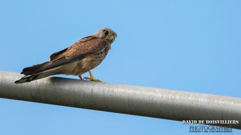 Faucon Crécerelle (Falco tinnunculus) ♂