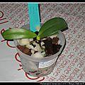 Phalaenopsis cornu-cervi n°2