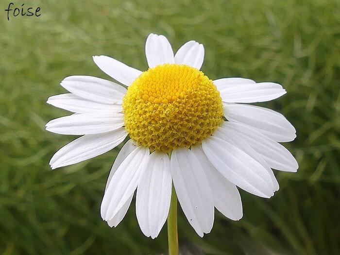 ligules blanches de 1-2 cm en périphérie