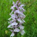 dactylorhiza maculata (orchis maculé, tacheté)