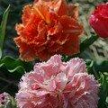 Tulipe cool cristal
