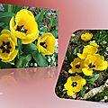 tulipes 2015_03_18