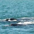Baleines (15)