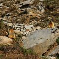 marmotteIMG_2556 - Copie