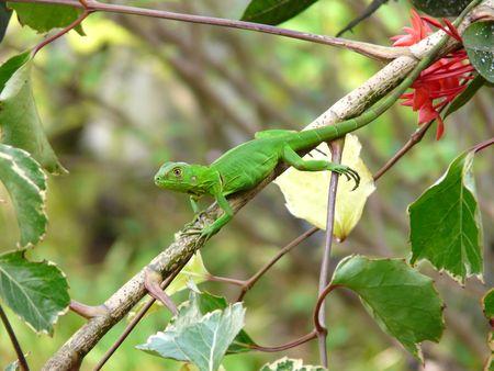 Iguana iguana - juvénile