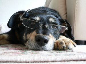 An intelligent dog wearing glasses