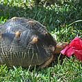 tortue-et-hibiscus