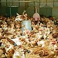 Etat des lieux de la filière avicole au cameroun, quel avenir ?