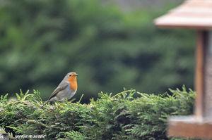 Rouge-Gorge familier • Erithacus rubecula
