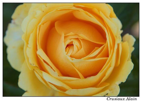roses_le_roeulx_2012_09_08__15
