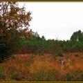 Lande colorée et pins