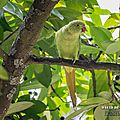 Perruche à collier (psittacula krameri - rose-ringed parakeet)