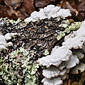 Schizophyllum commune (2)