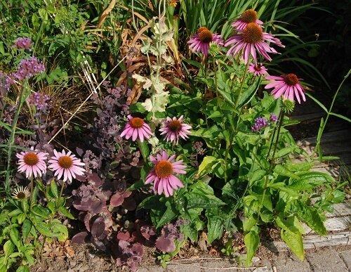 echinacea semis spontané