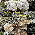 Schyzophyllum commune