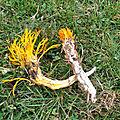 Calocera viscosa (3)