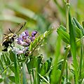 Sphinx bourdon - Hemaris tityus (6)